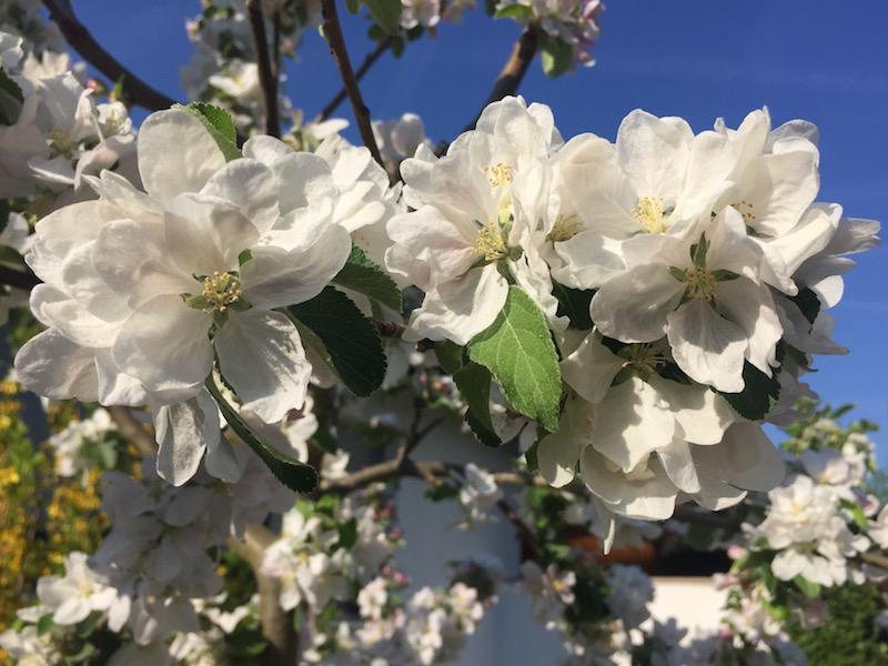 Ein schöner Moment - jeder Tag birgt mindestens einen schönen Moment in sich. Das Bild zeigt Blüten eines Apfelbaums.
